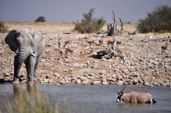 African Elephant with Springbok & Gemsbok