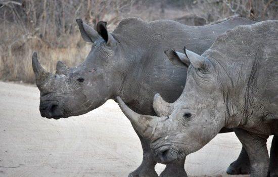 The Big 5: Rhino