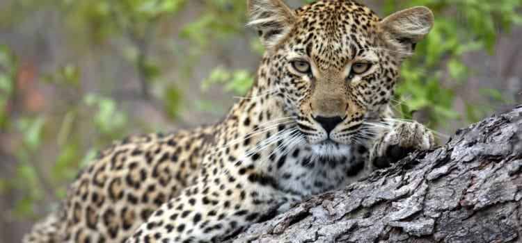 The Big 5: Leopard
