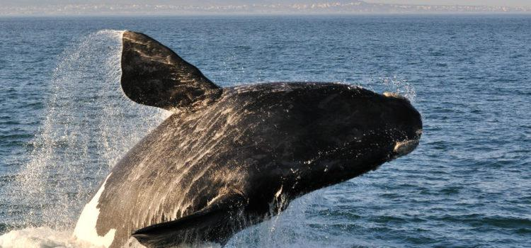 4 Star Safari + Wine + Whales Tour in Southern Africa