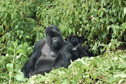 Gorilla 3